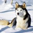 Chukchi husky breed dog on winter background — Stock Photo