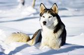 Chukchi husky breed dog on winter background — Stock Photo