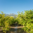 Irrigating a lemon plantation — Stock Photo