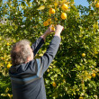 Stock Photo: Picking lemons