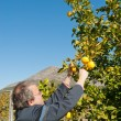 Stock Photo: Lemon crop