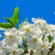 Cherry blossoms — Stock Photo #10940516