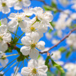 Cherry blossoms — Stock Photo #10940521