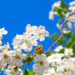 Cherry blossoms — Stock Photo #10940522