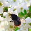 Stock Photo: Bumblebee and cherry blossom