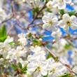 Cherry blossoms — Stock Photo #10940539