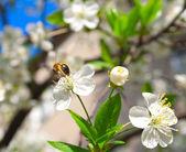 Bee and Flower Cherry — Stock Photo