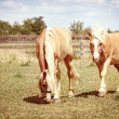 Two horses grazing - Stock Photo