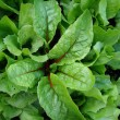 Fresh green lettuce salad closeup — Stock Photo #11657954
