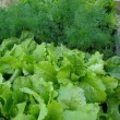 Stock Photo: Fresh green fennel and salad closeup