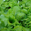 Fresh green lettuce salad closeup — Stock Photo