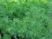 Fresh green fennel closeup — Stock Photo