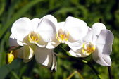 White orchid on a dark background — Stock Photo
