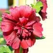 Mallow flower — Stock Photo