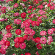 Rose bush — Stock Photo #12330266