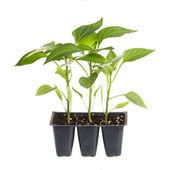Pacote de mudas de pimenta três isolados contra branco — Foto Stock