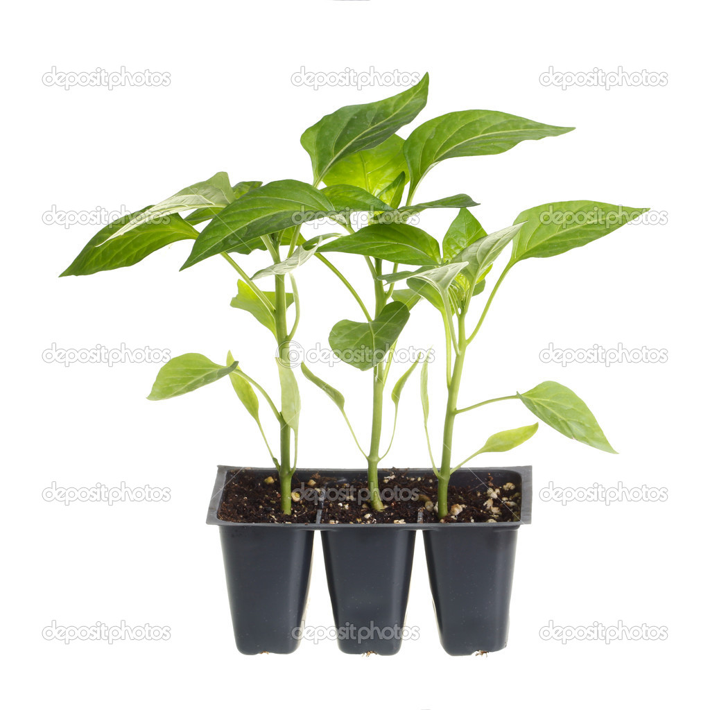pack of three pepper seedlings isolated against white. Black Bedroom Furniture Sets. Home Design Ideas