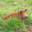 Live domestic pig in Ecuador - Stock Photo