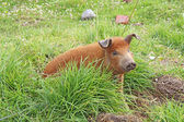 Live domestic pig in Ecuador — Stock Photo
