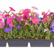 Flat of colorful petunia seedlings ready for transplanting - Zdjęcie stockowe