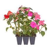 Pack of three impatiens seedlings ready for transplanting — Stock Photo