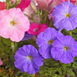 Colorful flowers of petunia fill the frame — Zdjęcie stockowe