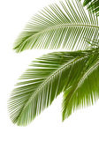 Leaves of palm tree — Stok fotoğraf