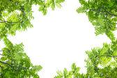 Green leaves frame on white background. — Stock Photo