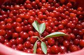 Cherries in a bucket — Stock Photo