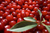 Cherries with a branch — Foto Stock