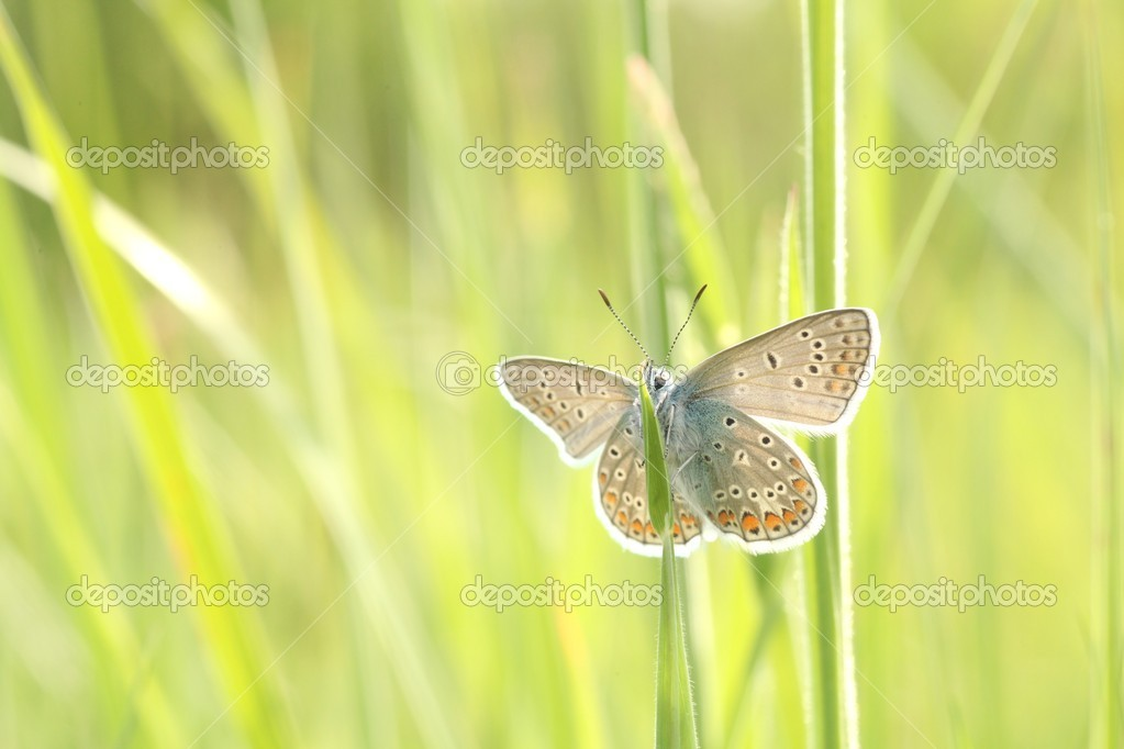 Close-up of a butterfly (plebejus argus) in spring meadow.  Stock Photo #10751470