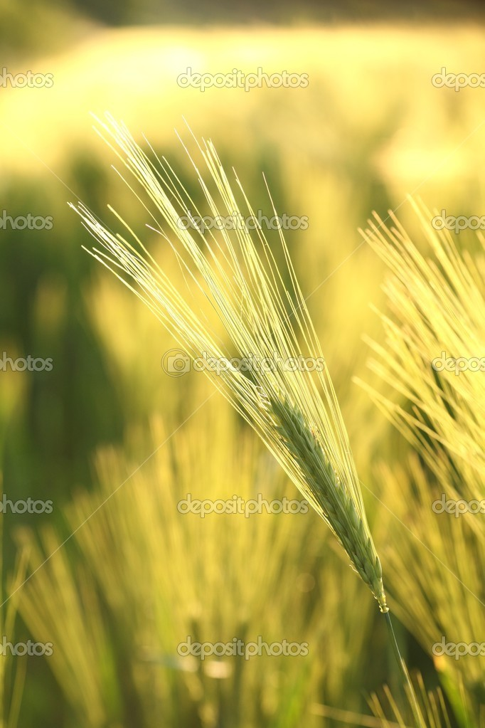 Ear of wheat in the field backlit by the morning sun. — Stock Photo #10828690