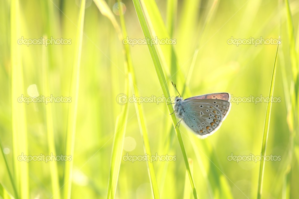 Close-up of a butterfly (plebejus argus) in spring meadow. — Stock Photo #10895329