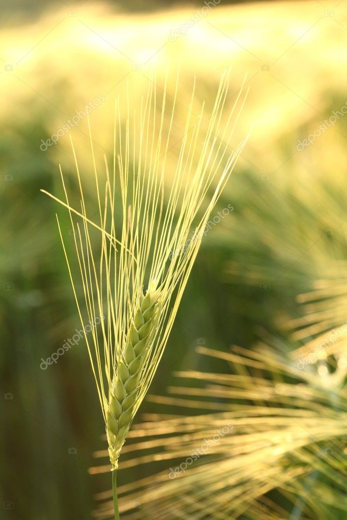 Ear of wheat in the field backlit by the morning sun.  Stock Photo #10966210