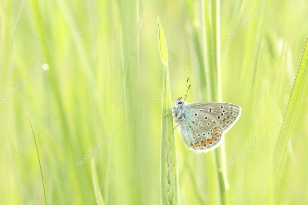 Butterfly (Plebejus argus) on a blade of grass in a spring morning. — Stock Photo #11052550