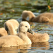 Stock Photo: Cygnet in the pond