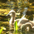Cygnet in pond — Stock Photo #11330641