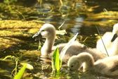 Cygnet in the pond — Stock Photo