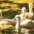 Young swans — Stock Photo #11378060