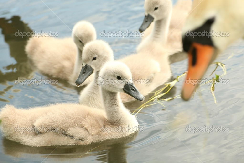Family of young swans in the care of his mother. — Stock Photo #11378035