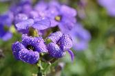 капельки воды на фиолетовые цветы — Стоковое фото