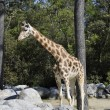 Giraffe in Zoo Enclosure with rocks — Stock Photo #10966107