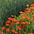 Stock Photo: Many Red Poppies Along Corn Meadow