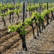 Vineyard with Young Vine — Stock Photo