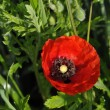 Stock Photo: One Big Red Poppy