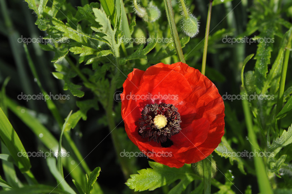 One Big Red Poppy Opened — Stock Photo #11370652