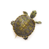 Turtle — Stock Photo