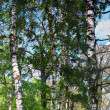 Birch forest. Birch Grove. — Stock Photo