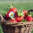 Strawberries in the basket — Stock Photo