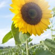 Sunflower — Stock Photo #11641371